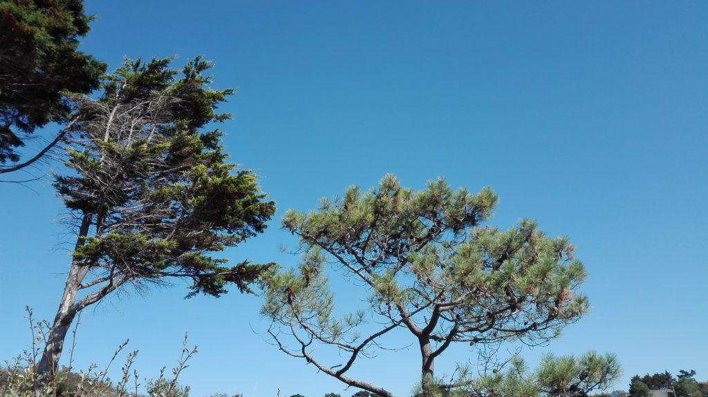 pins sur le sentier côtier au-dessus de Rospico